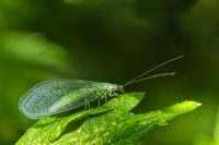 Lacewing Flies