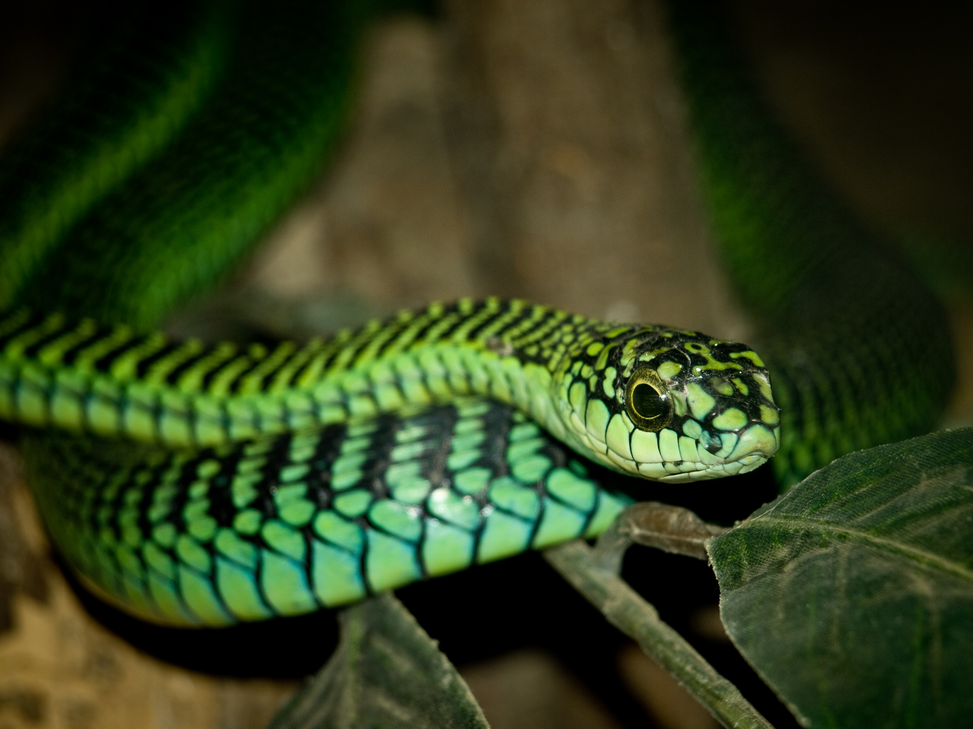 Close-up of a boomslang snake through glass at the snake centre near our campsite in the Ngorongoro Conservation Area, Tanzania