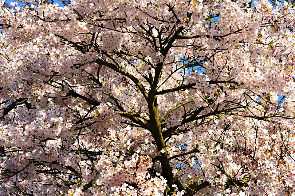 Cherry Blossom Flower Tree