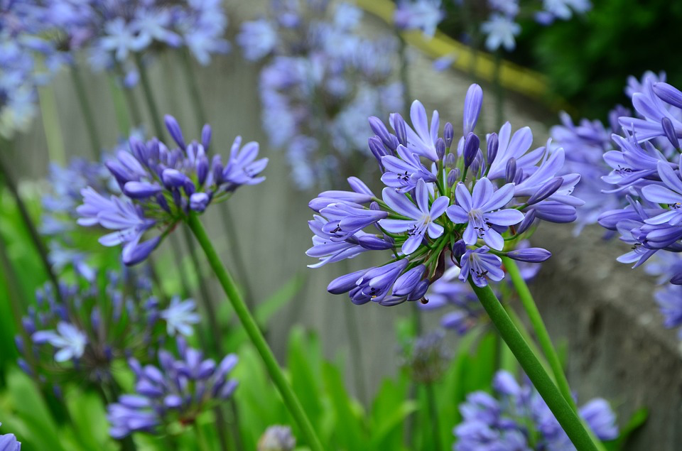 Agapanthus Lily Blue Jewelry
