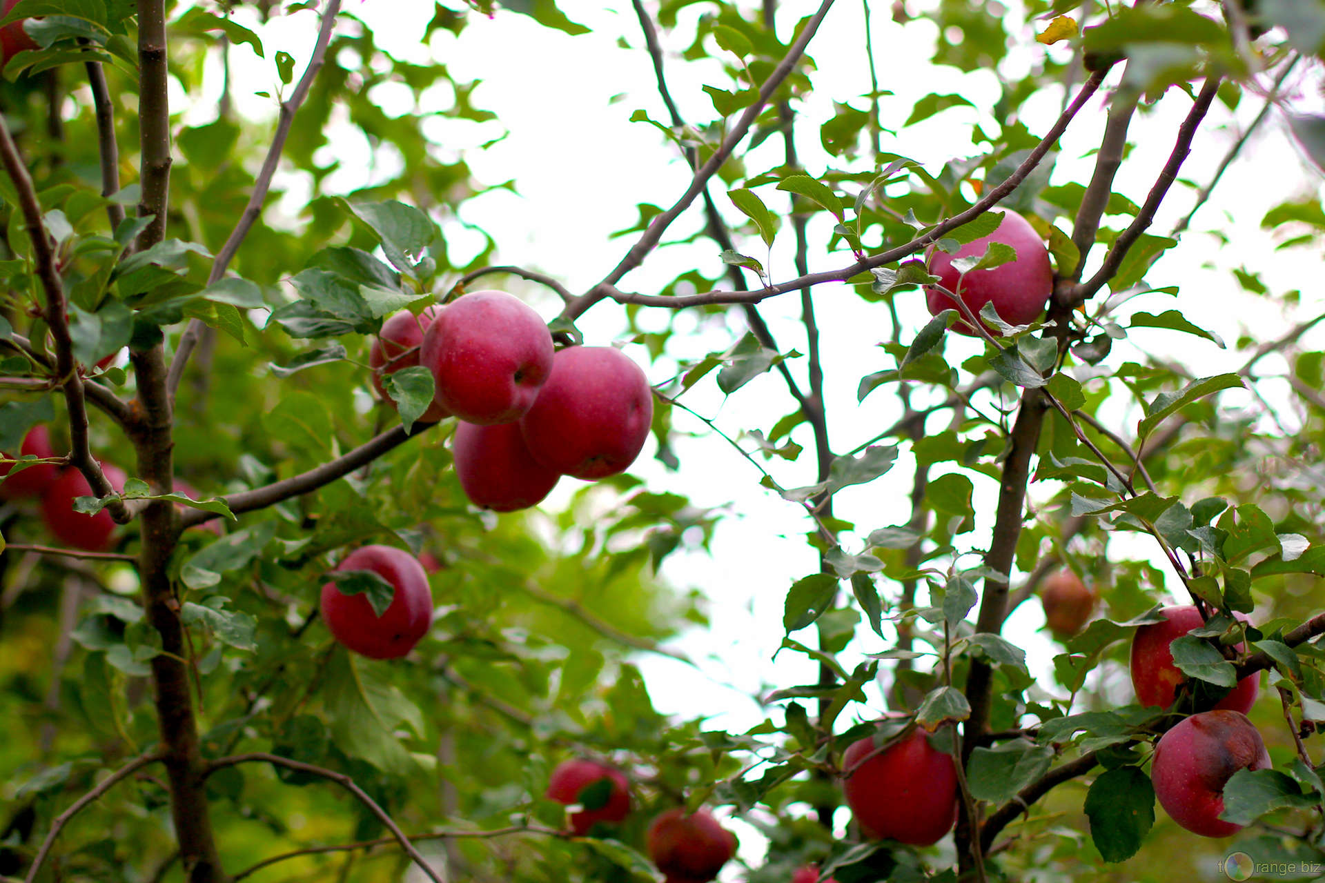 Red apples grow on Apple trees